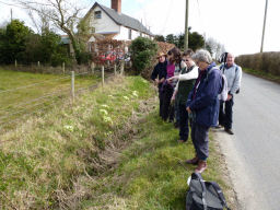 Ramblers admiring a bank of wild primroses on the Brampton Circular Walk 13-04-2013
