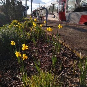 Westerfield Daffodils